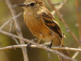 Bran-colored Flycatcher3