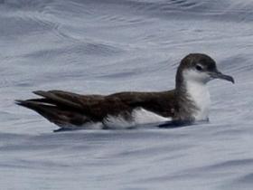 Audubons Shearwater3