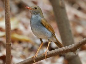 Orange-billed Nightingale-Thrush3