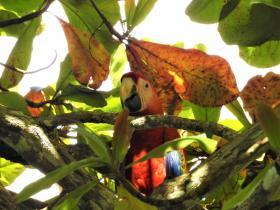 2018 01 03 Samoa Parrot2