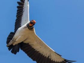 King Vulture3