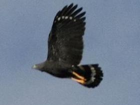Crane Hawk2