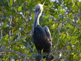 Brown Pelican4