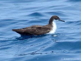 Galapagos Shearwater2