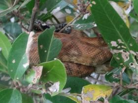 Northern Annulated Tree Boa