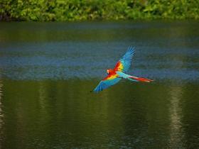 Scarlet Macaw3
