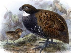 Black-breasted Wood-Quail2