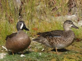 Blue-winged Teal4