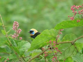 Golden-hooded Tanager2