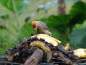 Hoffmanns Woodpecker3