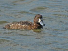 Greater Scaup2