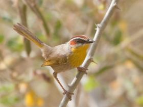 Rufous-capped Warbler2