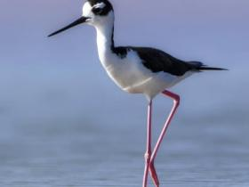 Black-necked Stilt2