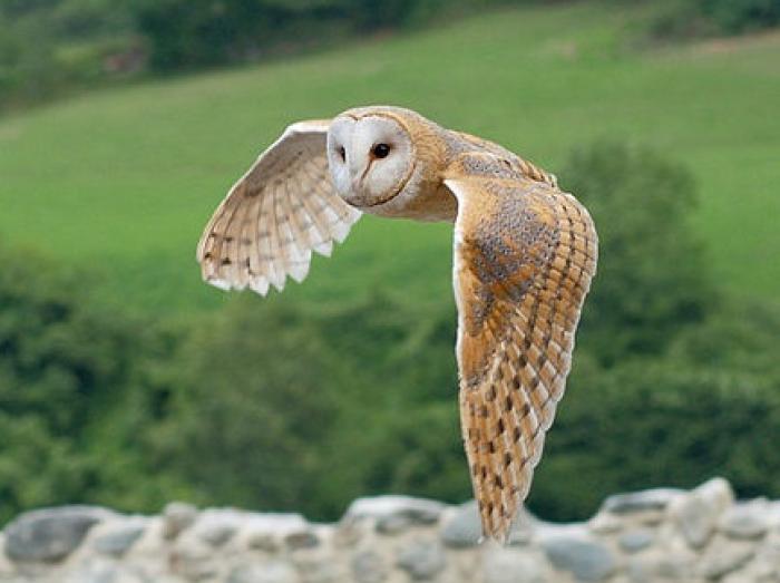Barn Owl3