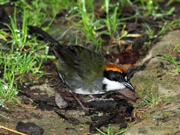 Chestnut-capped Brush-Finch2