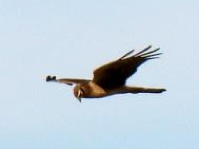 Northern Harrier2