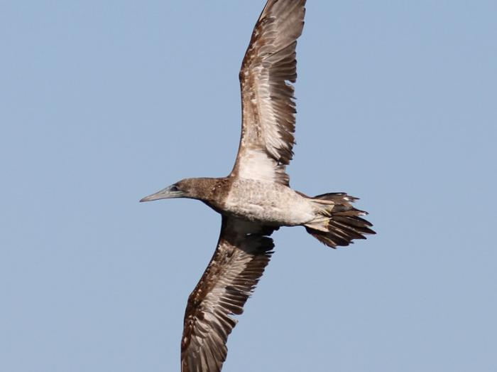 Brown Booby3