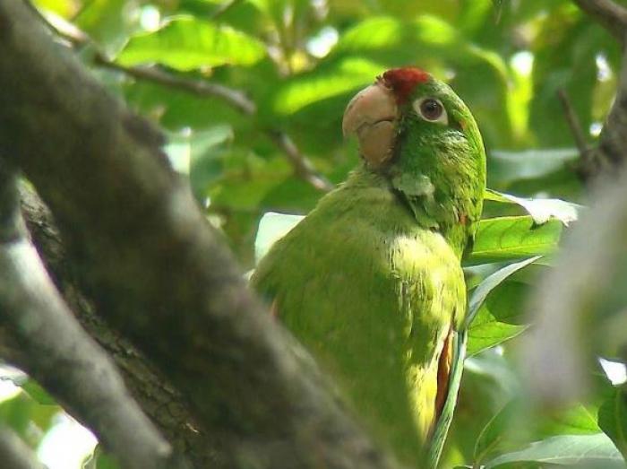 Crimson-fronted Parakeet3