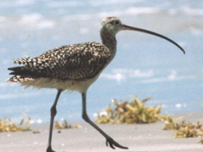 Long-billed Curlew3
