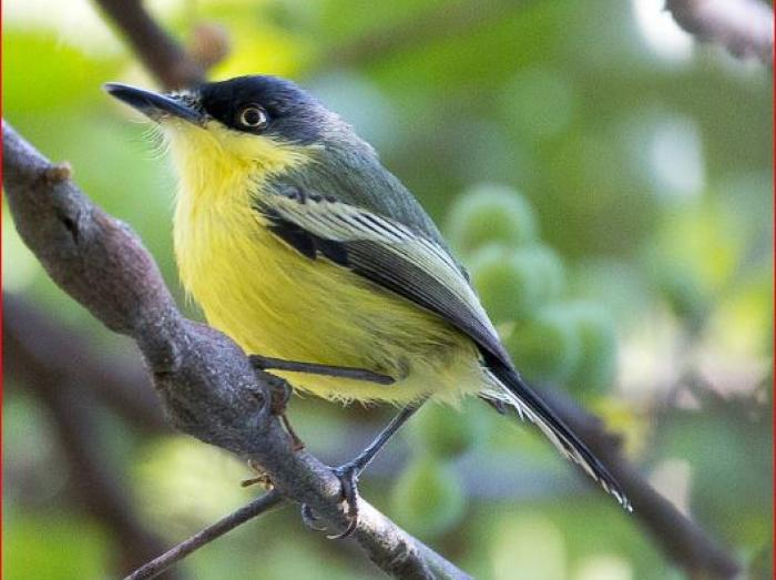 Common Tody-Flycatcher4