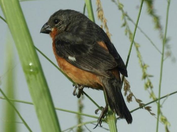 Ruddy-breasted Seedeater3