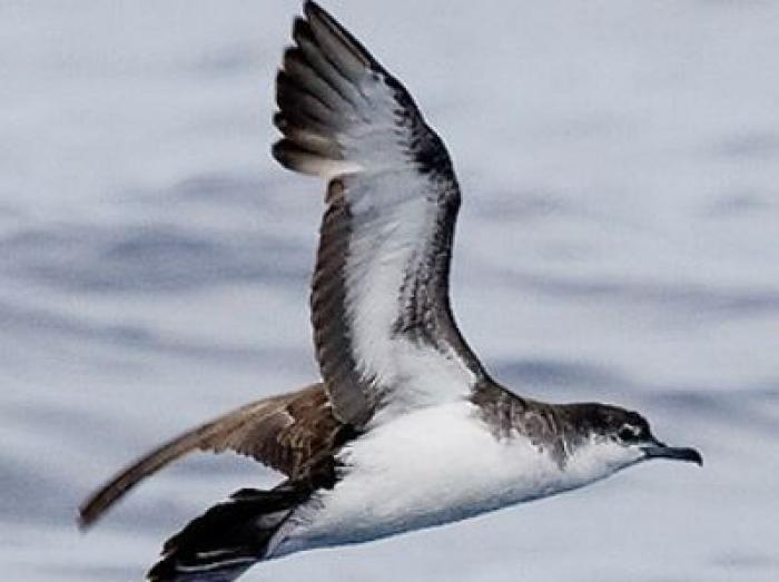 Audubons Shearwater2