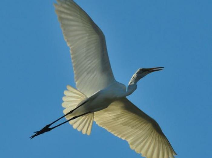 Great Egret4