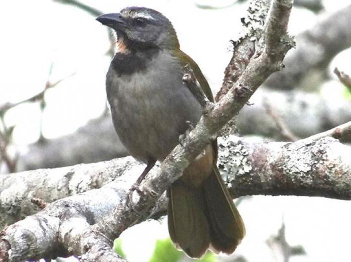 Buff-throated Saltator