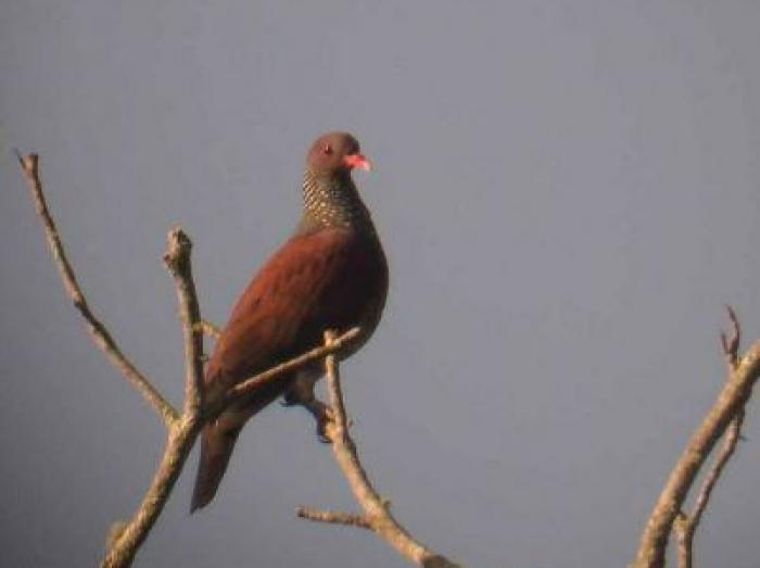 Scaled Pigeon3