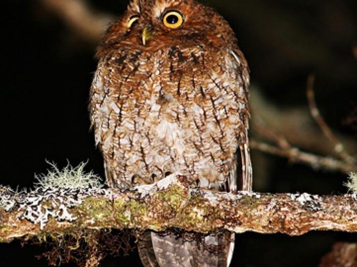 Bare-shanked Screech-Owl3