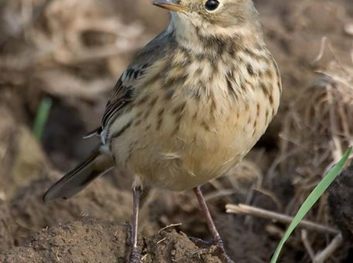 American Pipit3