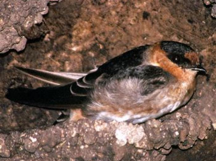 Cave Swallow3