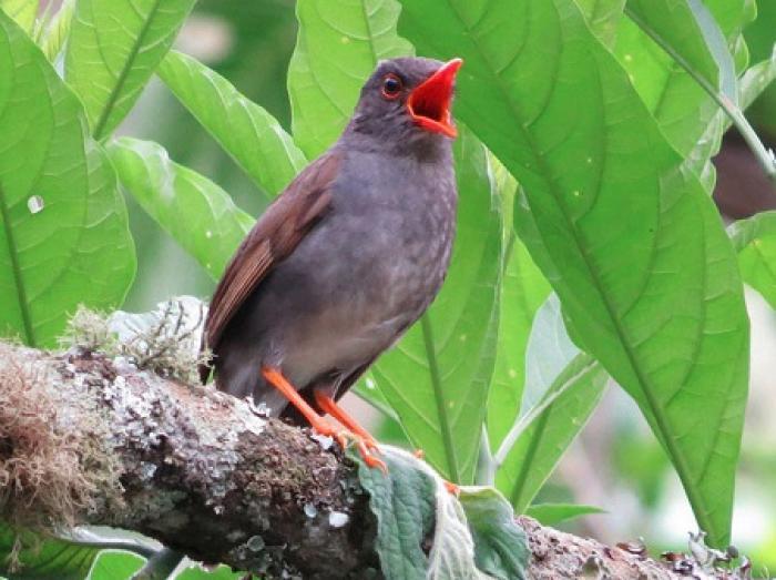 Orange-billed Nightingale-Thrush2