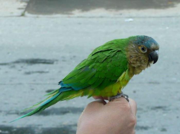 Brown-throated Parakeet3