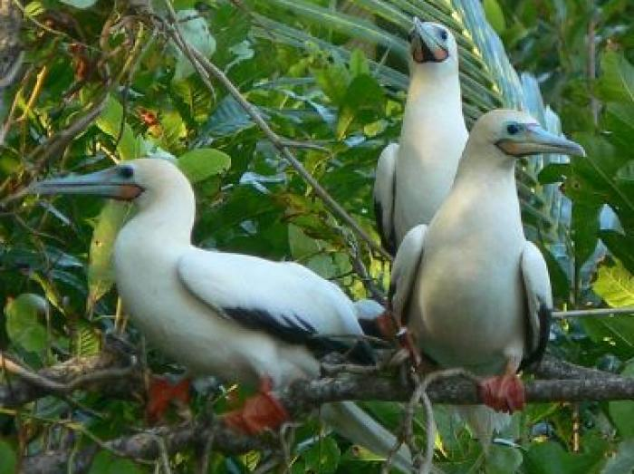 Red-footed Booby3