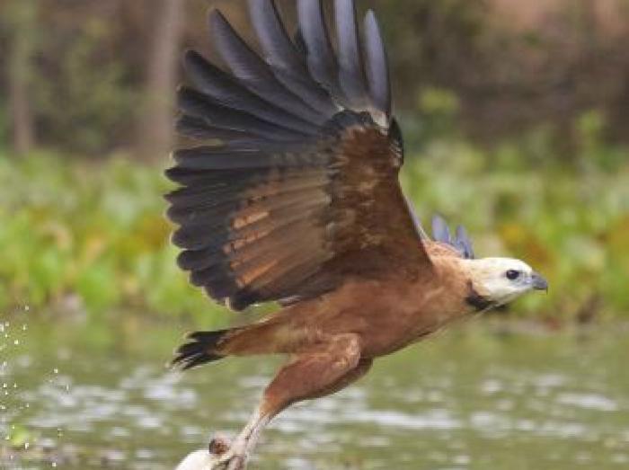 Black-collared Hawk3