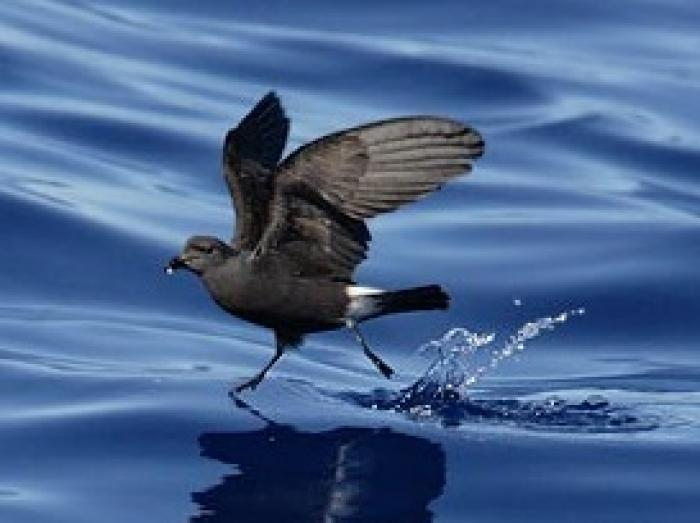 Band-rumped Storm-Petrel2