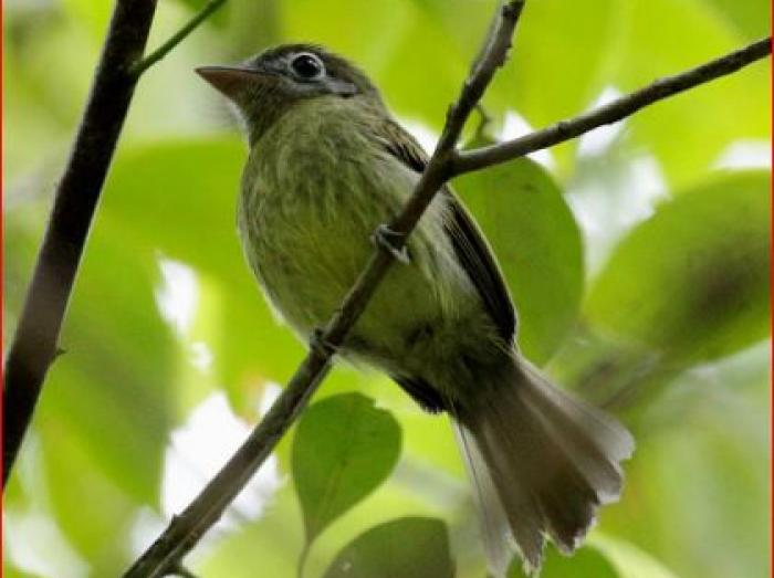 Eye-ringed Flatbill2