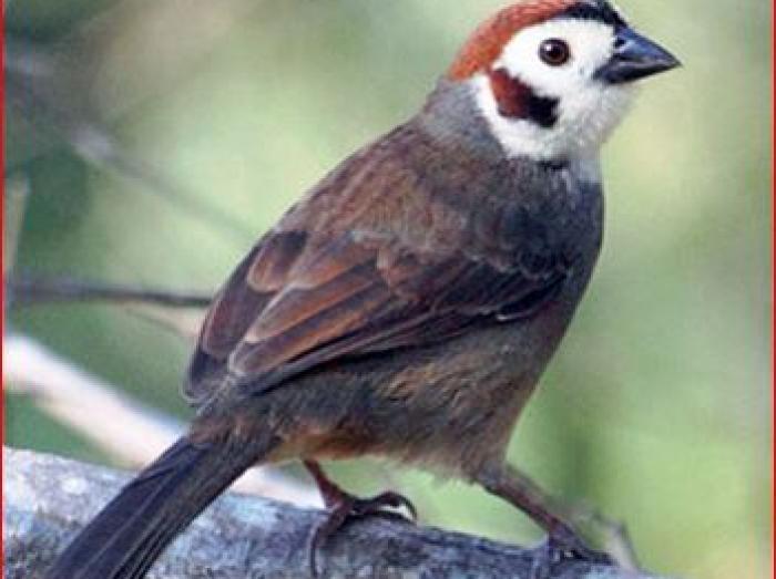 Prevosts Ground Sparrow