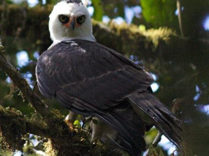 Black-and-white Hawk-Eagle3