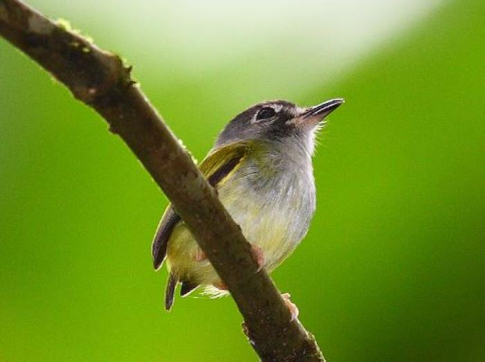 Black-capped Pygmy-Tyrant2