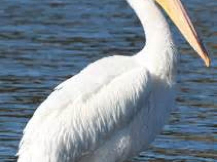 American White Pelican4