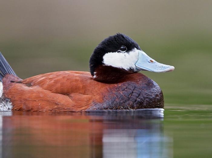 Ruddy Duck3