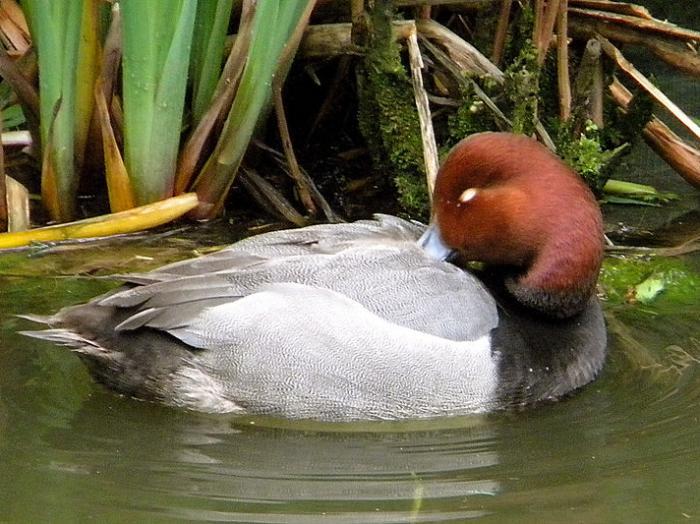 Redhead4