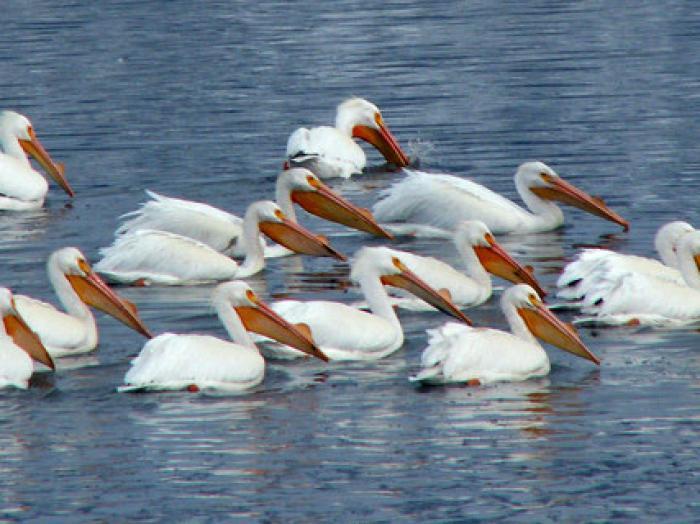 American White Pelican2