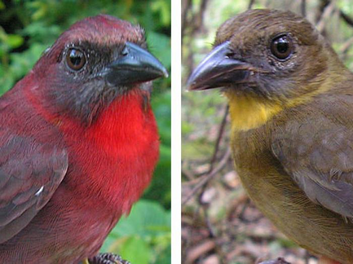 Red-throated Ant-Tanager2