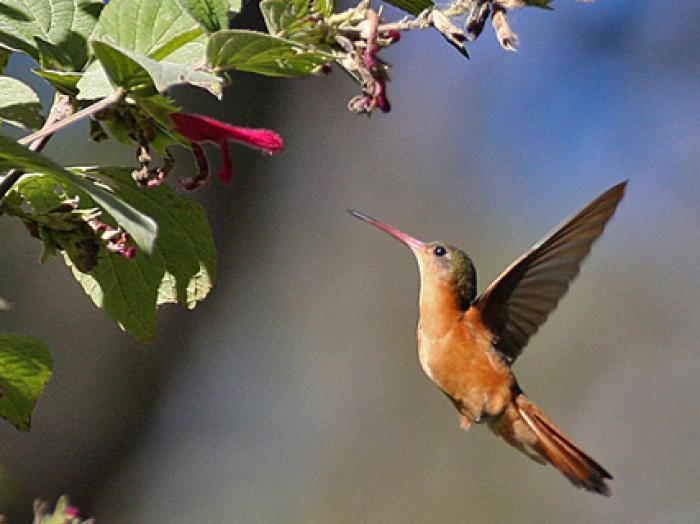 Cinnamon Hummingbird2
