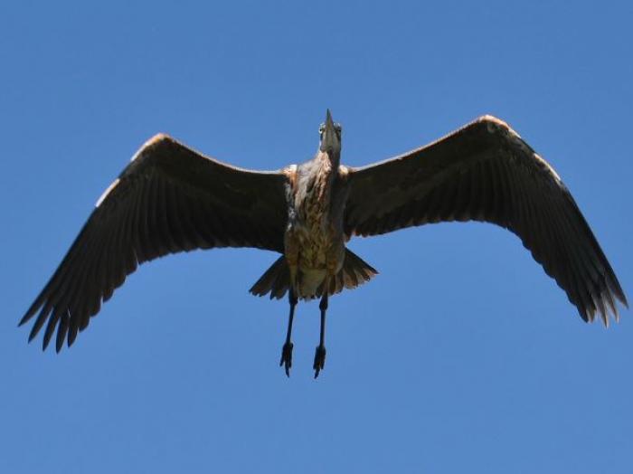 Great Blue Heron4