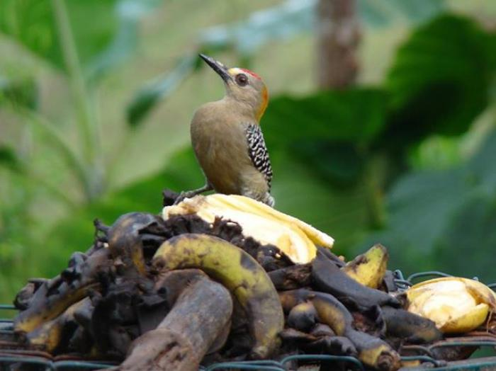 Hoffmanns Woodpecker2