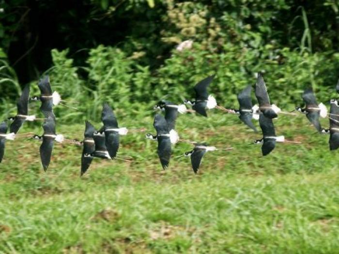 Black-necked Stilt3